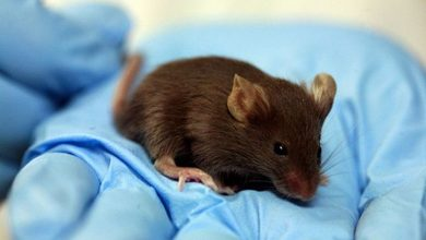 Photo of Mice Effect | Risky Factors And Prevention